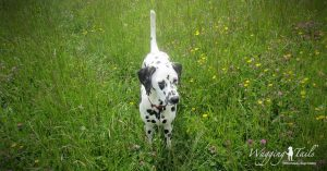 Dalmatian Dolly enjoying her dog holiday with Wagging Tails
