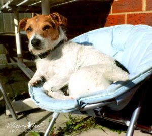 Jack Russell Maddie relaxing on her dog holiday